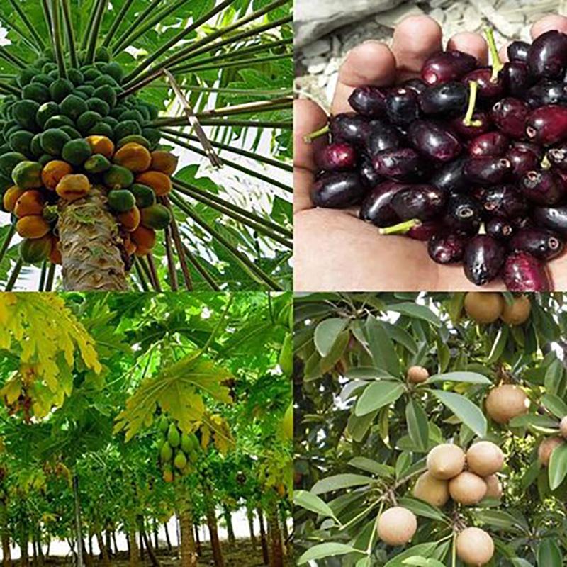 میوه های چابهار