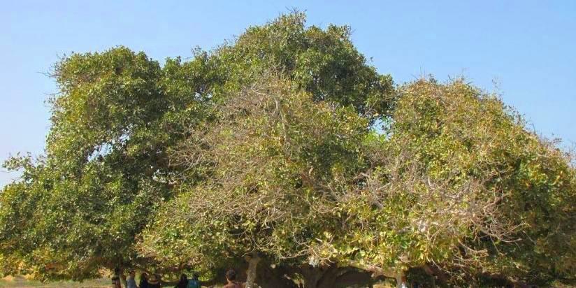 درخت انجیرمعابد